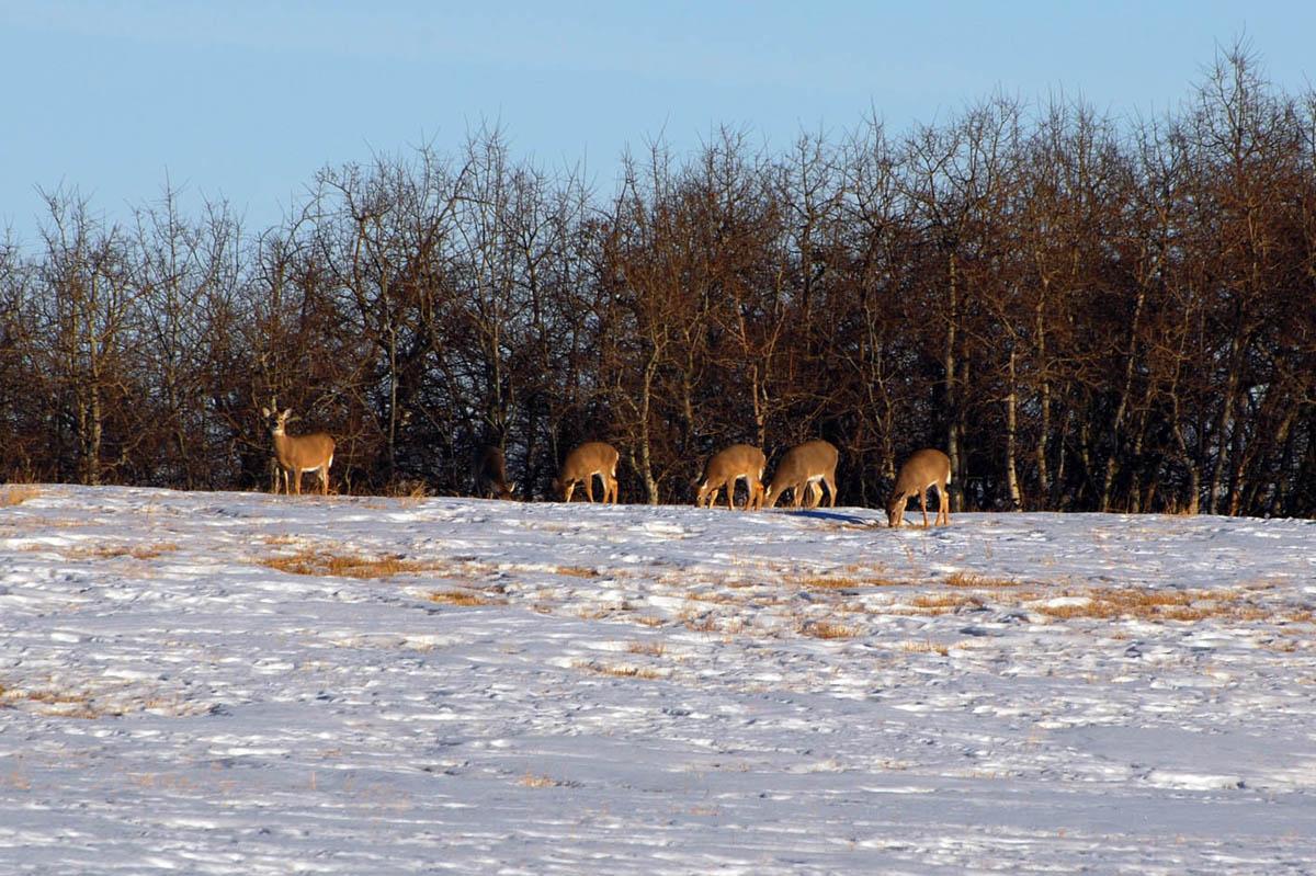 whitetail deer hunting alberta canada