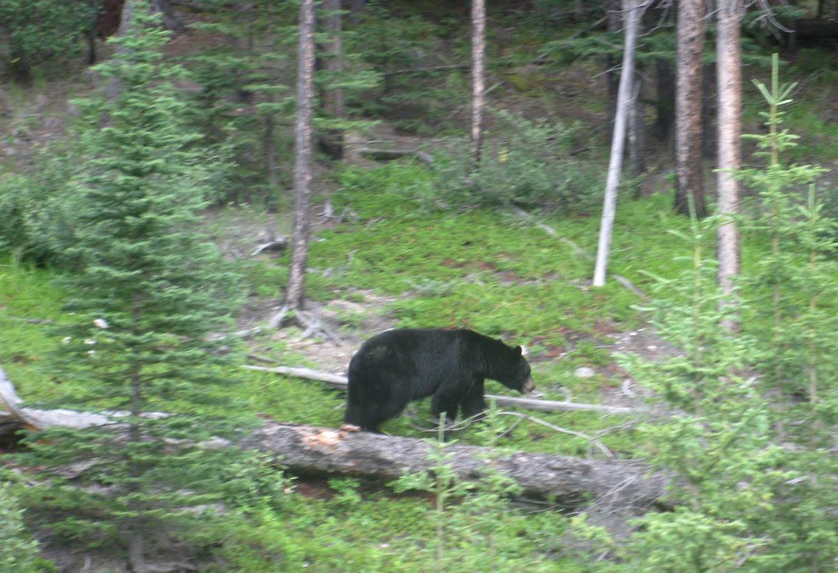 black bear hunting alberta canada