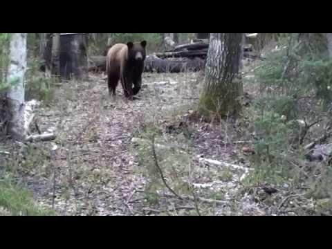 Color Phase Bear Hunts Alberta