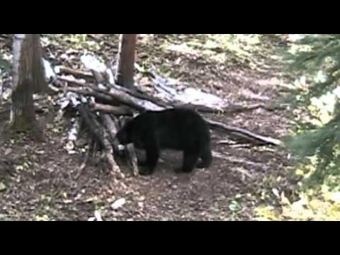 Trophy Black Bear Hunting